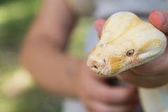Head of  Python. Macro Head of  Python  at the Blurred  Human Hand Background Stock Images