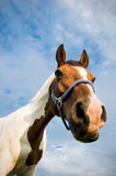 Head of a Quarter Horse. From the Frog Perspective Stock Photos