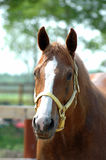 Head of quarter horse Stock Photos