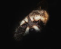 Head of a raccoon. Against black background Royalty Free Stock Image