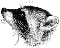 Head of raccoon Stock Photo