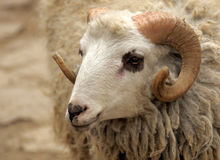The head of a ram. Royalty Free Stock Image