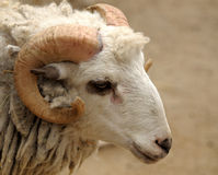 The head of a ram. Royalty Free Stock Photos