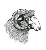 Head of ram hand drawn in antique etching style. Livestock animal isolated on white background. Vector illustration in monochrome Royalty Free Stock Photography