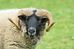 Head of rare breed sheep Royalty Free Stock Photography