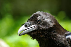 Head of raven. On green backgroung Stock Photography