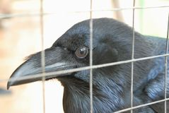 Head of Raven Royalty Free Stock Images