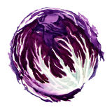 Head of red cabbage. Watercolor painting on white background vector illustration