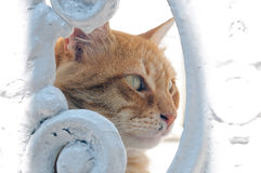 Head of red cat through a hole in a fence Royalty Free Stock Image