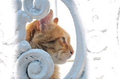 Head of red cat through a hole in a fence Stock Photography