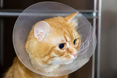 Head of red cat , wearing a Elizabethan collar closeup. Head of red cat , wearing a transparent plastic Elizabethan collar closeup Royalty Free Stock Photography