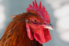 Head of red cock. With a red comb close-up in profile Stock Photo