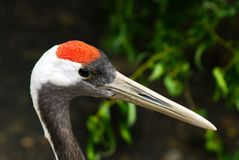 Head of a red crowned crane stock photo
