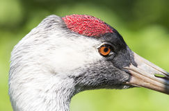 The head of the Red Crowned Crane close-up. Stock Image