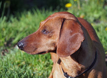 Head of red dachshund dog Stock Images