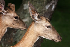 Head of Red Deer. Stock Photography