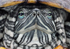 Head red-eared slider Royalty Free Stock Photo