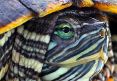Head red-eared slider Royalty Free Stock Photography