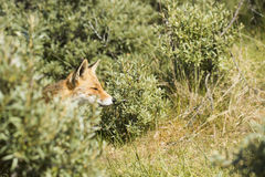 Head of red fox coming out of the bushes Stock Photography