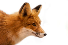 Head of Red Fox Isolated on White. Close up of a red fox isolated on white background royalty free stock image