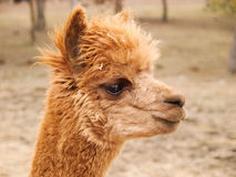 Head of red-haired lama guanaco Royalty Free Stock Photos