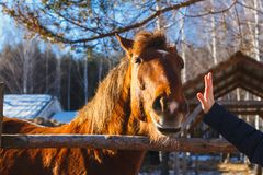 The head of a red horse stretches to the palm of the hand royalty free stock images