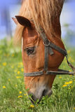 Head red horses. Chestnut thoroughbred horse nibbling grass in the summer at the track Royalty Free Stock Photography
