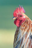 Head of Red Jungle Fowl Stock Photo
