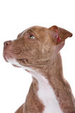 Head of red nose pitbull pupp. Y isolated on a white background Royalty Free Stock Photography