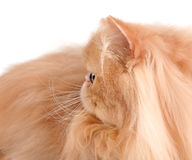 Head of red persian cat Royalty Free Stock Photography