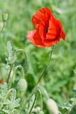 The head of a red poppy on a field. The head of a red poppy on a green field Stock Images