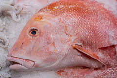 The head of a Red Snapper fish, on ice Stock Photos