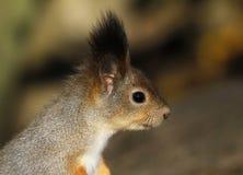 Head of the Red Squirrel Sciurus vulgaris. Royalty Free Stock Image