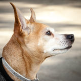Head of Red and White Chihuahua Mix Dog Looking Up Royalty Free Stock Image