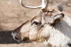Head of a reindeer, rangifer tarandus. On a sunny day in spring Royalty Free Stock Photo