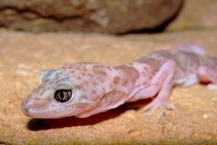 Head of a Reticulated Gecko, Coleonyx reticulatus Royalty Free Stock Image