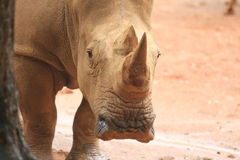 Head of rhino Stock Photo