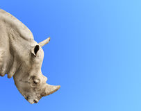 Head of rhinoceros Royalty Free Stock Image