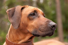 Head of the Rhodesian Ridgeback Royalty Free Stock Photography