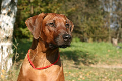 Head of the Rhodesian ridgeback Stock Photo