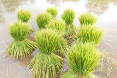 Head rice. At sakonnakhon in Thailand Stock Image