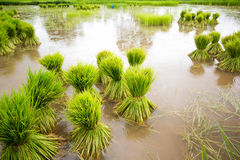 Head rice in Thailand. Head rice at sakonnakhon in Thailand Stock Photo