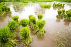 Head rice in Thailand Stock Photo