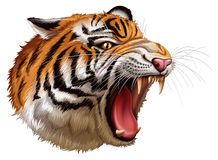 A head of a roaring tiger. Illustration of a head of a roaring tiger on a white background royalty free illustration