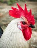 head rooster Arkivfoto