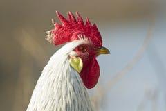 head rooster Royaltyfri Foto