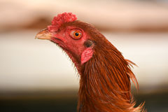 Head of rooster Royalty Free Stock Photography