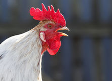 The head of a rooster with a crest sings Stock Images