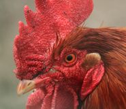 Head of rooster Royalty Free Stock Photo