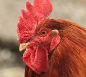 Head of rooster Royalty Free Stock Photos